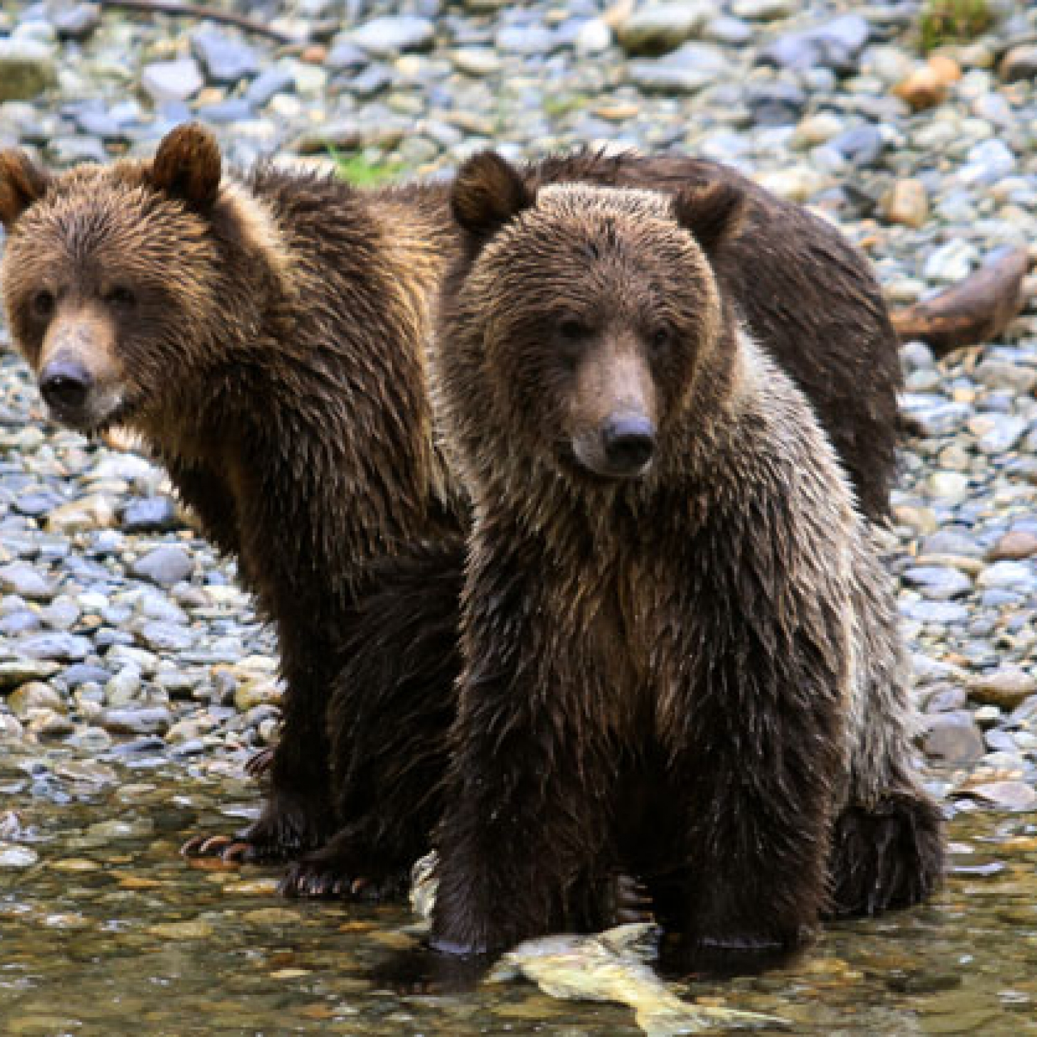 Orford River Grizzly Expedition