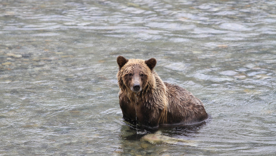 grizzly-kayaking-tour1-bc-2017